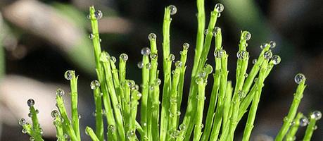 Skrzyp polny - składnik Profolan