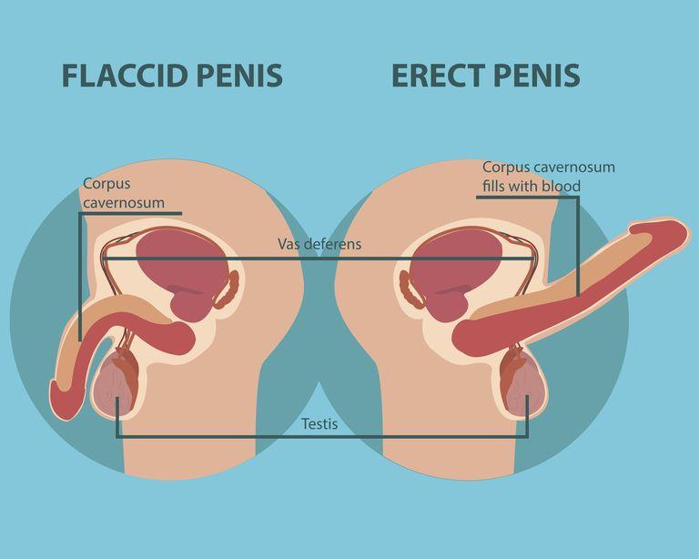Jak działa erekcja